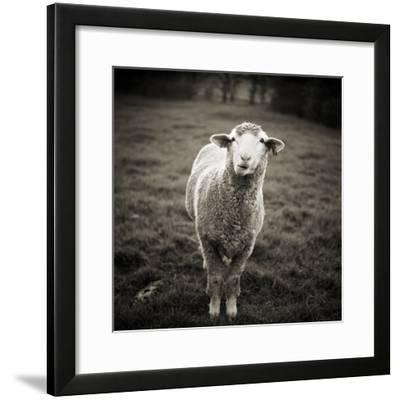 Sheep Chewing Cud-Danielle D. Hughson-Framed Photographic Print