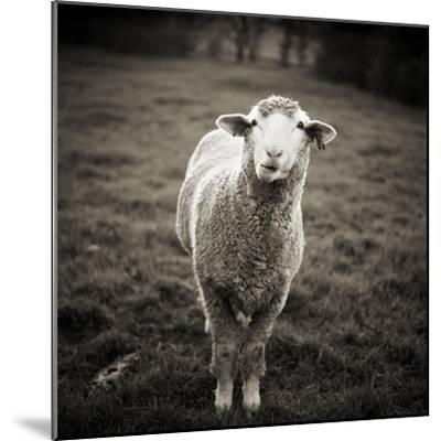 Sheep Chewing Cud-Danielle D. Hughson-Mounted Photographic Print