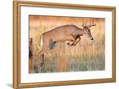 Young White-Tail Deer-David C Stephens-Framed Photographic Print