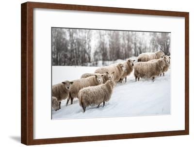 Sheep Herd Waking on Snow Field-coolbiere photograph-Framed Photographic Print