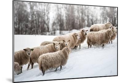 Sheep Herd Waking on Snow Field-coolbiere photograph-Mounted Photographic Print