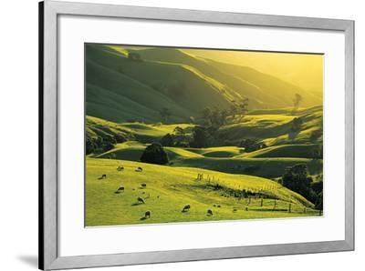 Ewes and Lambs Grazing at Trida, Strzelecki Ranges, South Gippsland, Victoria, Australia-Peter Walton Photography-Framed Photographic Print