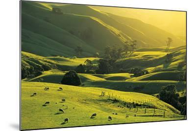 Ewes and Lambs Grazing at Trida, Strzelecki Ranges, South Gippsland, Victoria, Australia-Peter Walton Photography-Mounted Photographic Print