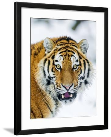 A Nice Portrait-Picture by Tambako the Jaguar-Framed Photographic Print