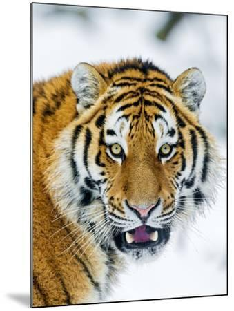 A Nice Portrait-Picture by Tambako the Jaguar-Mounted Photographic Print