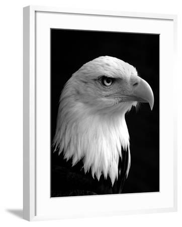 Haliaeetus Leucocephalus (Bald Eagle)-Saffron Blaze-Framed Photographic Print