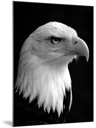 Haliaeetus Leucocephalus (Bald Eagle)-Saffron Blaze-Mounted Photographic Print