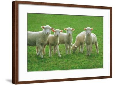 Lambs, near Werribee, Victoria, Australia-Peter Walton Photography-Framed Photographic Print