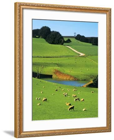 Ewes and Lambs Grazing at Thorpdale, Strzelecki Ranges, West Gippsland, Victoria, Australia-Peter Walton Photography-Framed Photographic Print