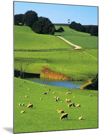 Ewes and Lambs Grazing at Thorpdale, Strzelecki Ranges, West Gippsland, Victoria, Australia-Peter Walton Photography-Mounted Photographic Print