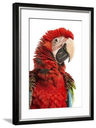 Close-Up of a Green-Winged Macaw-Life on White-Framed Photographic Print