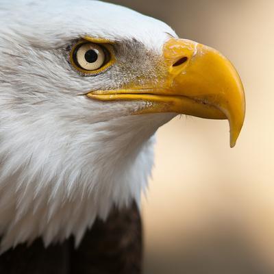 Bald Eagle-Jonatan Hernandez Photography-Framed Photographic Print