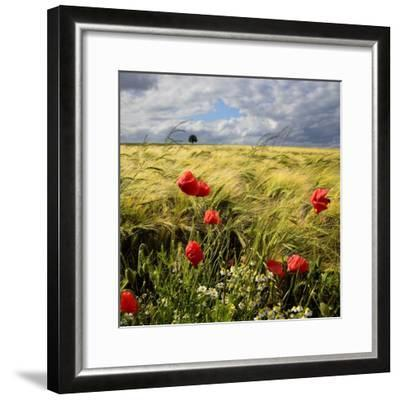 Poppies and Barley Field-pierre hanquin photographie-Framed Photographic Print