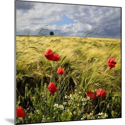 Poppies and Barley Field-pierre hanquin photographie-Mounted Photographic Print