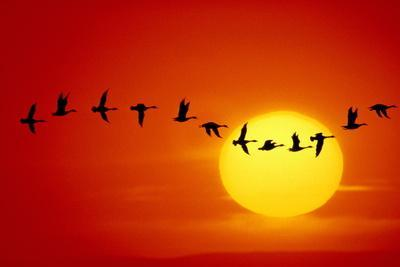GEESE SILHOUETTED IN FLIGHT ACROSS SUN-Mitchell Funk-Framed Photographic Print