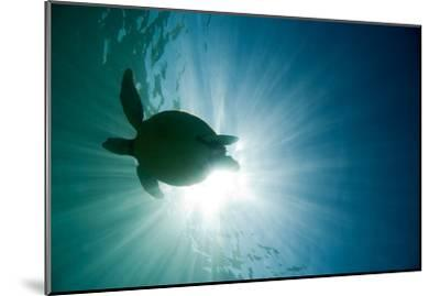 Sea Turtle-M.M. Sweet-Mounted Photographic Print