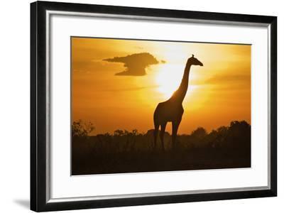 Silhouette Giraffe at Sunset-Joost Notten-Framed Photographic Print