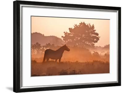 New Forest Pony in Mist at Dawn.-Julie Mitchell/Southdowns Photographics-Framed Photographic Print