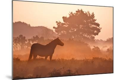 New Forest Pony in Mist at Dawn.-Julie Mitchell/Southdowns Photographics-Mounted Photographic Print