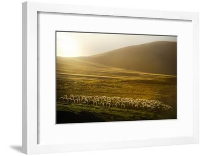 Sheep Herd on Meadows in Evening Light-coolbiere photograph-Framed Photographic Print