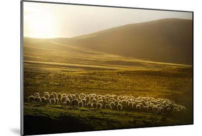 Sheep Herd on Meadows in Evening Light-coolbiere photograph-Mounted Photographic Print