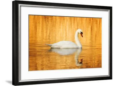 Swam Swimming in Water-Jody Trappe Photography-Framed Photographic Print