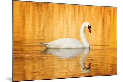 Swam Swimming in Water-Jody Trappe Photography-Mounted Photographic Print