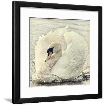 Swan Causing Bow Wave-BlackCatPhotos-Framed Photographic Print