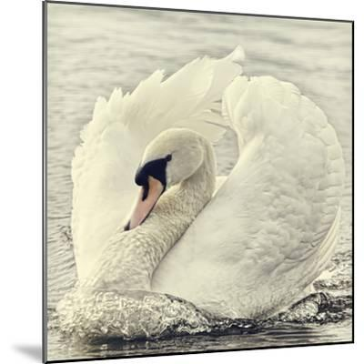 Swan Causing Bow Wave-BlackCatPhotos-Mounted Photographic Print