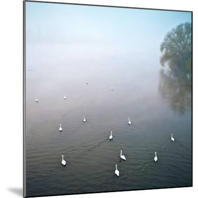 Swans in Log on River Neckar-Ulrich Mueller-Mounted Photographic Print