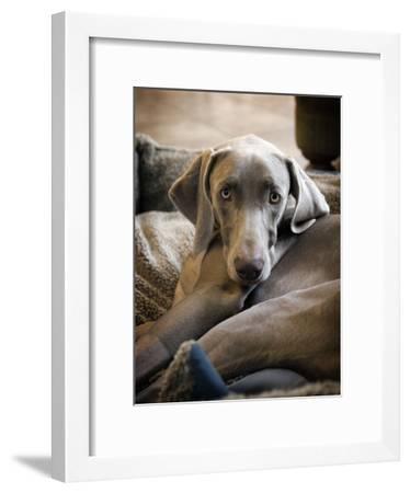 Weimaraner-Kevin Sherman-Framed Photographic Print
