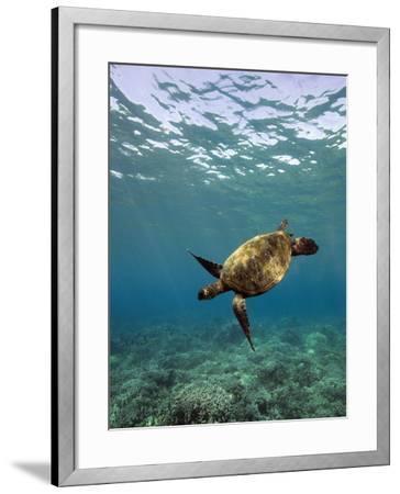 Turtle Swimming-David Olsen-Framed Photographic Print