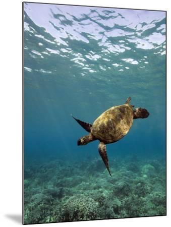 Turtle Swimming-David Olsen-Mounted Photographic Print
