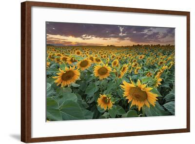 Sunflower Field in Longmont, Colorado-Lightvision-Framed Photographic Print