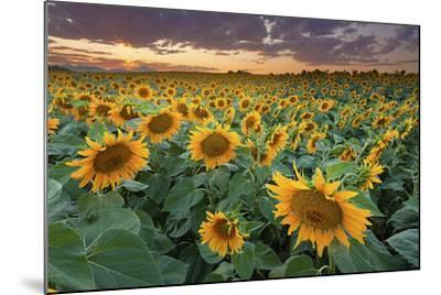 Sunflower Field in Longmont, Colorado-Lightvision-Mounted Photographic Print