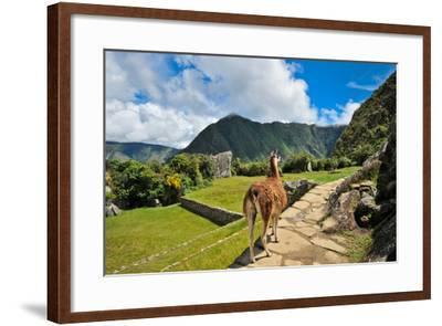 Lama at Machu Picchu-Jose Antonio Maciel-Framed Photographic Print