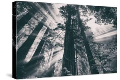 Energy, Redwoods and Morning Light, California Coast-Vincent James-Stretched Canvas Print