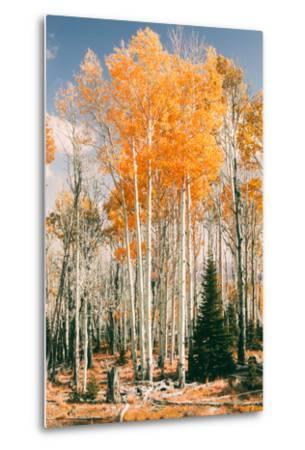 Autumn Sun Trees at Dixie National Forest, Southern Utah, Southwest-Vincent James-Metal Print