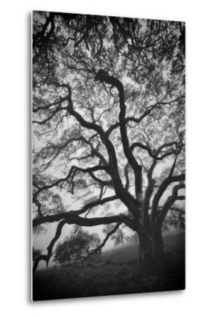 Mood Tree, Oak in Winter in Black and White, Sonoma Couny, Northern California-Vincent James-Metal Print