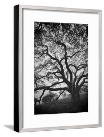 Mood Tree, Oak in Winter in Black and White, Sonoma Couny, Northern California-Vincent James-Framed Photographic Print