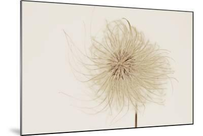 Dried Flowers-Torsten Richter-Mounted Photographic Print