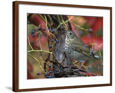 Gray-Cheeked Thrush in Virginia Creeper in the Fall (Catharus Minimus). Eastern USA-Steve Maslowski-Framed Photographic Print