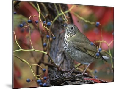 Gray-Cheeked Thrush in Virginia Creeper in the Fall (Catharus Minimus). Eastern USA-Steve Maslowski-Mounted Photographic Print