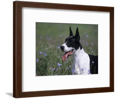 Great Dane Variety of Domestic Dog-Cheryl Ertelt-Framed Photographic Print