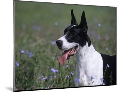 Great Dane Variety of Domestic Dog-Cheryl Ertelt-Mounted Photographic Print