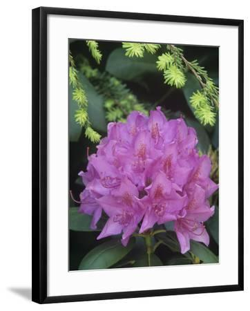 Flowering Rosebay Rhododendron, Rhododendron Maximum, Eastern North America-Adam Jones-Framed Photographic Print