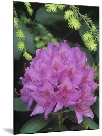 Flowering Rosebay Rhododendron, Rhododendron Maximum, Eastern North America-Adam Jones-Mounted Photographic Print