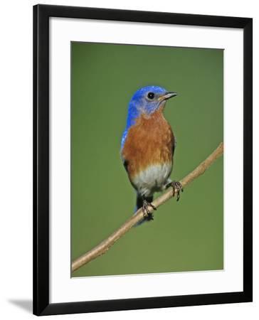 Male Eastern Bluebird, Sialia Sialis, North America. Missouri State Bird-Joe McDonald-Framed Photographic Print