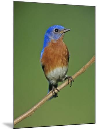 Male Eastern Bluebird, Sialia Sialis, North America. Missouri State Bird-Joe McDonald-Mounted Photographic Print