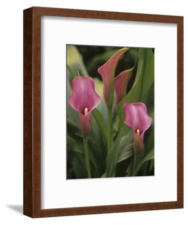 Calla Lily Flowers, Zantedeschia, Araceae-Adam Jones-Framed Photographic Print